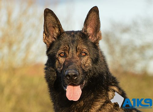 Chico - German Shepherd Personal Protection Dog