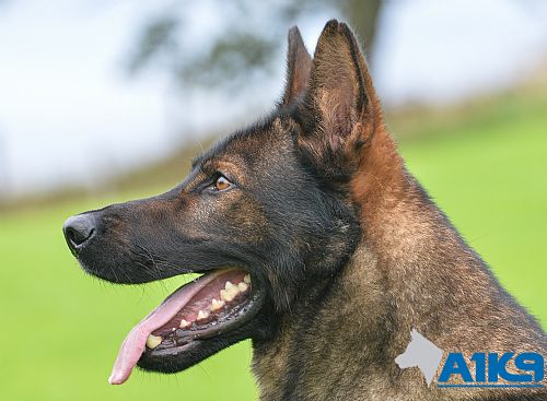 Jax - German Shepherd Personal Protection Dog