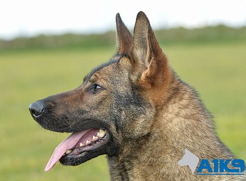 Buffy - German Shepherd Personal Protection Dog