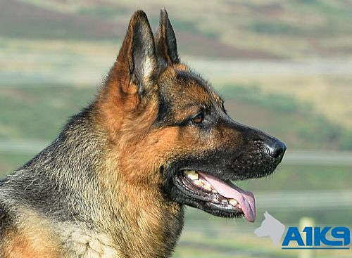 Paco - German Shepherd Personal Protection Dog