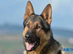 Caine - Personal Protection Dog trained by A1K9 to Executive Level.