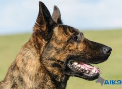 Clay - Dutch Herder Personal Protection Dog