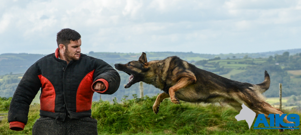 Personal Protection Dog attacking a man in a training suit