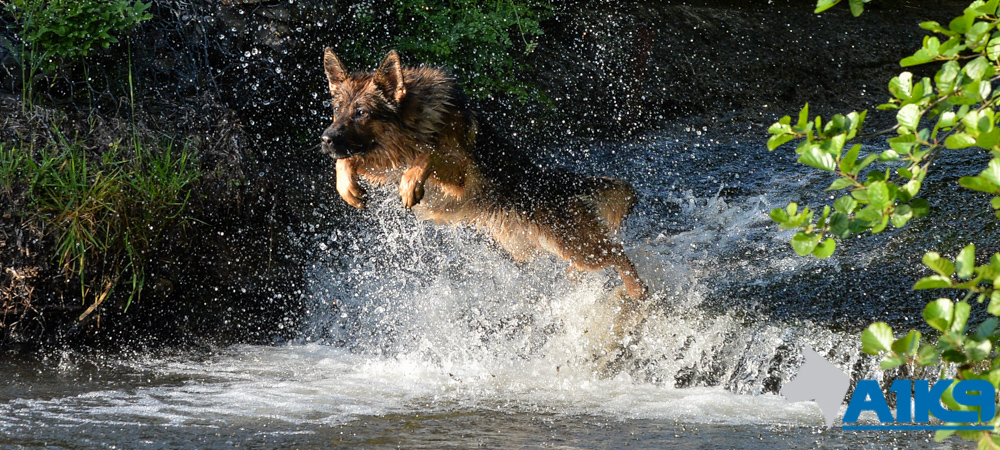 A1K9 protection dog leaping in water