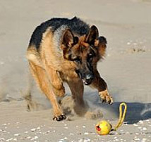 Mack, a trained protection dog playing with a toy