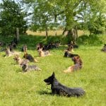 30-A1K9-Personal-Protection-Trained-German-Shepherd-Dogs-in-a-down-9557