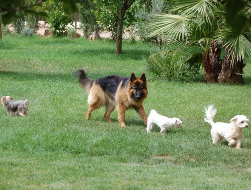 A1K9 Protection Dog with Other Dogs