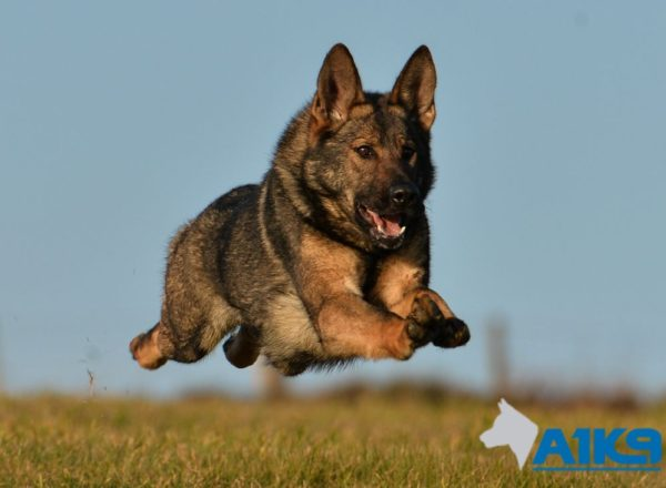 buffy family protection dog 4