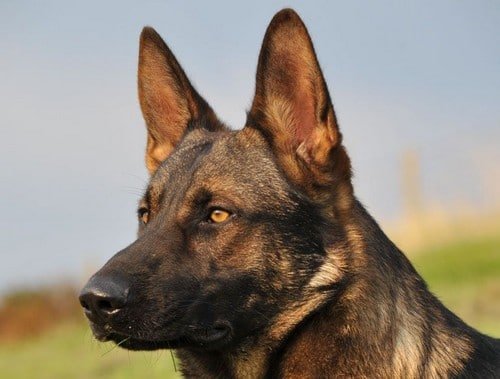 A1K9 Protection Dog