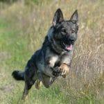 A1K9s Protection Dog Bonnie