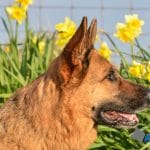 A1K9-Dog-obedience-training-classes-Sam-GSD-Head-8208