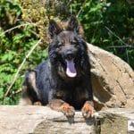 A1K9s Protection Dog Barnie