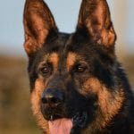 A1K9s Protection Dog Cirus