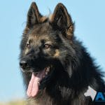 A1K9-Family-Protection-Dog-Harry-8070