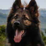 A1K9s Protection Dog Harry Head