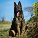 A1K9-Family-Protection-Dog-Izzo-sitting-in-the-spring-sunshine-7394