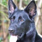A1K9s Protection Dog Jana Head