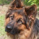 A1K9s Protection Dog Javir