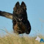 A1K9s Protection Dog Zara