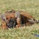 A1K9-Future-Family-Protection-Dog-Coco-relaxing-7577