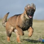 A1K9-Future-Family-Protection-Dog-Coco-running-in-the-fields-7541