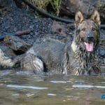 A1K9-Lord-in-the-river-cooling-down-2912