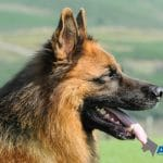 A1K9-Personal-Protection-Dog-Bruno-4410