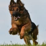 A1K9-Personal-Protection-Dog-Javir-Running-1-5670