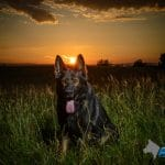 A1K9-Personal-Protection-Dog-Wag-in-the-sunset