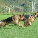 A1K9-Personal-Protection-Dogs-Xavier-and-Bella-Race-6081