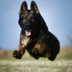 A1K9-Top-Flight-Family-Protection-Dog-Izzo-7431