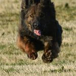 A1K9-Trained-Family-Protection-Dog-Grace-Flying-inbound-7800