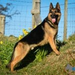 A1K9-Trained-Family-Protection-Dog-Hero-Stand-7598