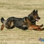 A1K9-Trained-Family-Protection_Dog-Grace-Flying-7854