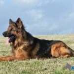 A1K9-Trained-Obedient-Family-Dog-Videx-Nash-relaxing-7514