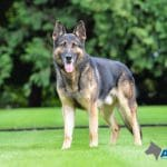 A1K9-elite-family-protection-dog-Xero-standing-on-manicured-lawn-at-new-home-in-Ireland-6480