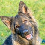 A1K9-family-protection-dog-2
