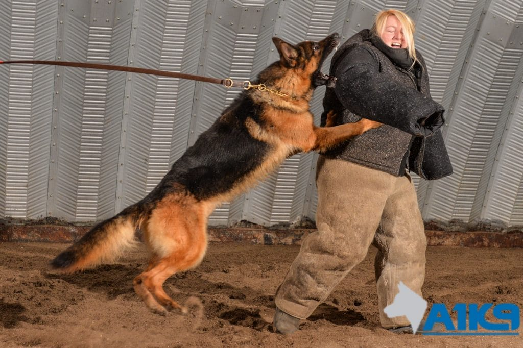 A1K9s Protection Dog in Action
