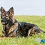 A1K9-family-protection-dog-3