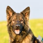 A1K9-family-protection-dog-4