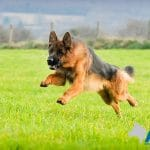 A1K9-family-protection-dog-6