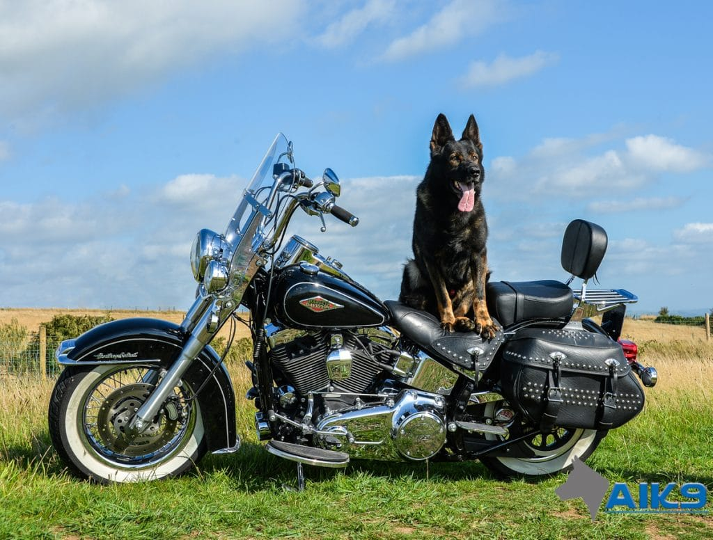 A1K9-family-protection-dog-Wagary-on-Harley-Davidson-2983