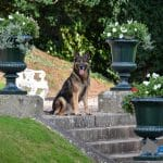 A1K9-family-protection-dog-Xero-posing-outside-his-new-home-6473