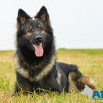 A1K9-family-protection-dog-albert-down-3408