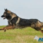 A1K9-family-protection-dog-albert-running-3433