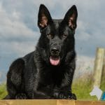 A1K9-family-protection-dog-ben-0420-2