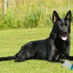 A1K9-family-protection-dog-ben-down-0430