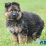 A1K9-family-protection-dog-in-the-making-6284