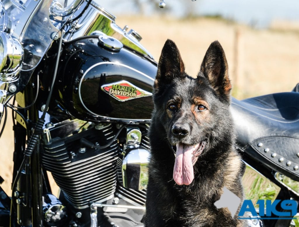 A1K9-family-protection-dog-wagary-harleydavidson-2908