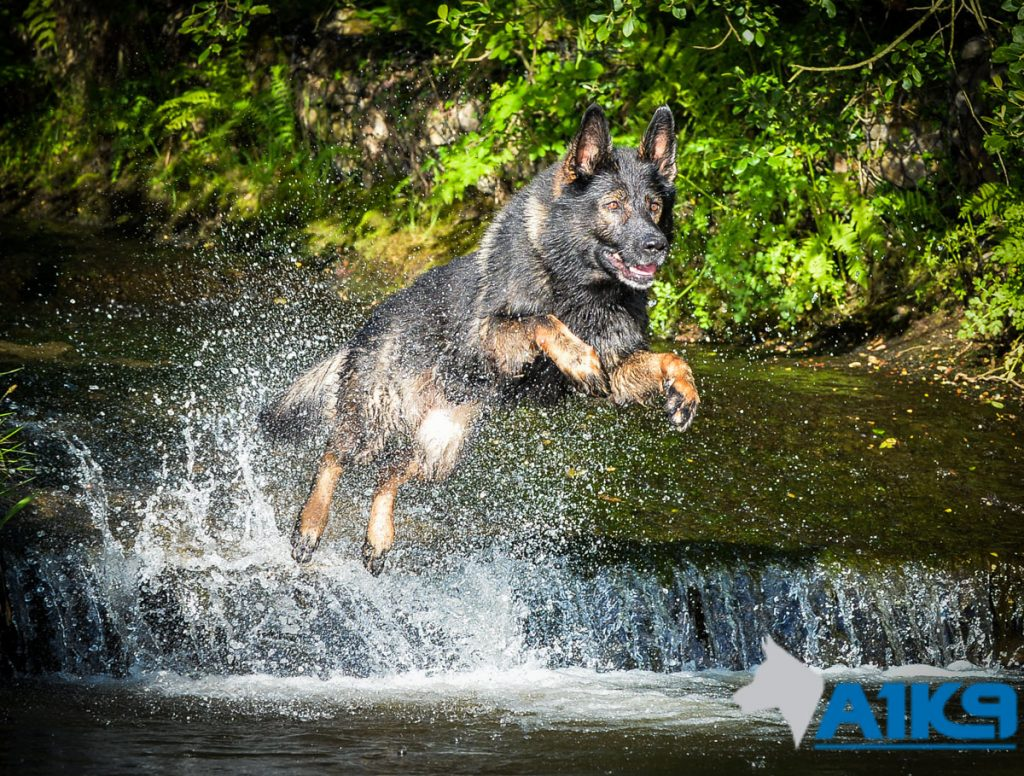 A1K9-family-protection-dog-wagery-river-jump-9006